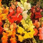 Thompson & Morgan Antirrhinum Nanum Dwarf Bedding Mixed