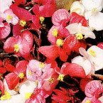 Thompson & Morgan Begonia Semperflorens Options Mixed