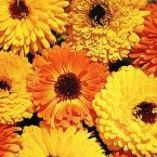 Thompson & Morgan Calendula Officinalis Art Shades Mixed