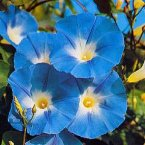 Thompson & Morgan Morning Glory : Heavenly Blue