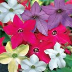 Thompson & Morgan Nicotiana x sanderae Eau de Cologne Mixed F1. Hybrid