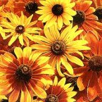 Thompson & Morgan Rudbeckia hirta Rustic Dwarfs Mixed