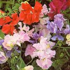Thompson & Morgan Sweet Pea : Early Mammoth Mixed